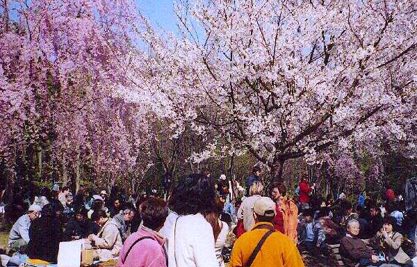 Hanami, dans le jardin du parc impérial de tokyo (kitanomaru)